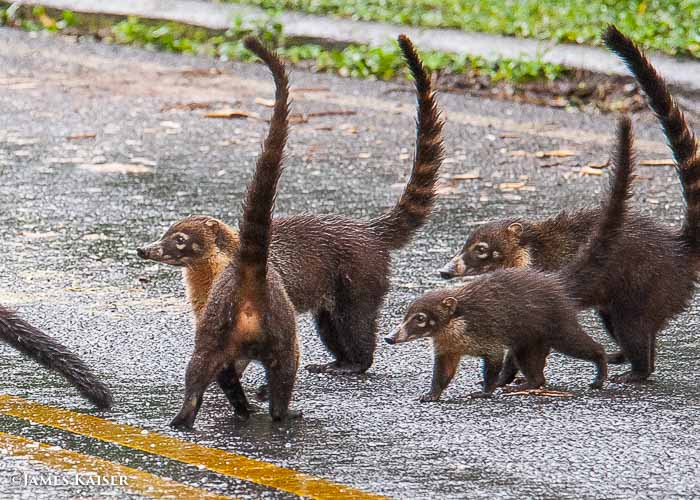 Coatis, Costa Rica