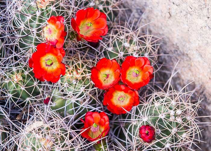 Blooming Cactus, Spring, Joshua Tree National Park
