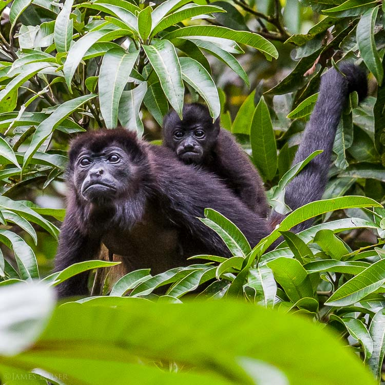 Howler monkey mother and baby, Tortuguero