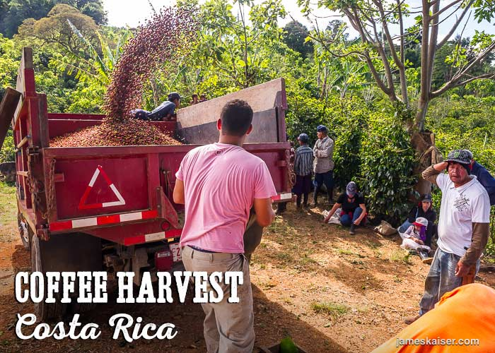Loading ripe coffee berries onto a truck